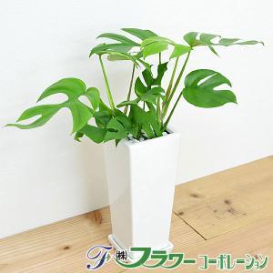 観葉植物 ヒメモンステラ スクエア陶器鉢植え