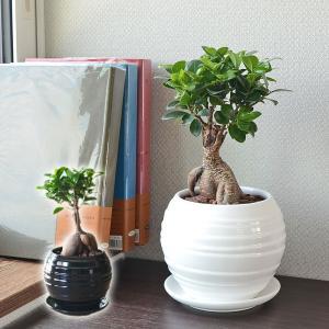 観葉植物 ガジュマル 多幸の木 おしゃれ お祝い ボール形陶器鉢 ホワイト ブラック