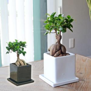 観葉植物 ガジュマル 多幸の木 おしゃれ お祝い キューブ陶器鉢 ホワイト ブラック