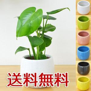 ミニ観葉植物 モンステラ陶器鉢付き(ハイドロカルチャー)