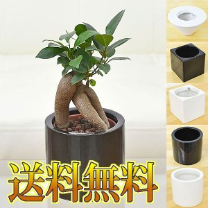 ミニ観葉植物 ガジュマル ハイドロカルチャースタイリッシュ陶器鉢付き