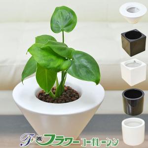 ミニ観葉植物 モンステラ ハイドロカルチャースタイリッシュ陶器鉢付き