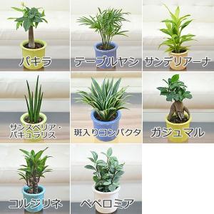 観葉植物ミニ ハイドロカルチャー 3鉢セット ...の詳細画像2