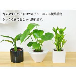 ミニ観葉植物 編み込みパキラ ハイドロカルチャ...の詳細画像1