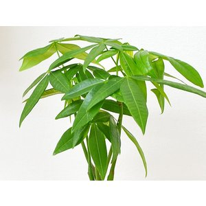 ミニ観葉植物 編み込みパキラ ハイドロカルチャ...の詳細画像3