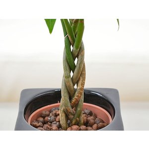 ミニ観葉植物 編み込みパキラ ハイドロカルチャ...の詳細画像4