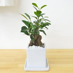 観葉植物 ガジュマル(多幸の木) キューブ陶器鉢植え