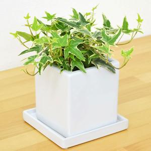 観葉植物 アイビー(ヘデラ) キューブ陶器鉢植え