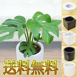 ミニ観葉植物 ヒメモンステラ ハイドロカルチャースタイリッシュ陶器鉢付き