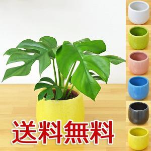 ミニ観葉植物 ヒメモンステラ陶器鉢付き(ハイドロカルチャー)