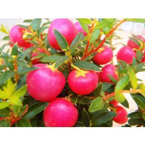 真珠の木 ハッピーベリー シンジュノキ 赤 ポット苗|flower-net