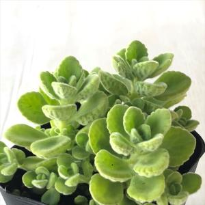 ハーブに近い多肉植物 プレクトランサス アロマティカス|flower-net