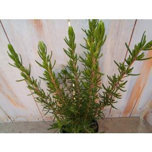 ローズマリー 立ち性 10.5cmポット ハーブ 料理 ガーデニング|flower-net