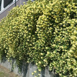バラ苗 モッコウバラ(黄)薔薇苗 10.5cmポット|flower-net