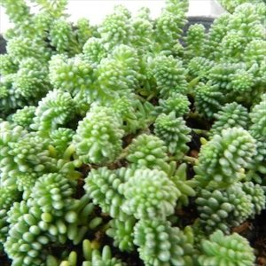 多肉植物 seセダム サクサグラレモスグリーン 多肉植物 セダム 9cmポット