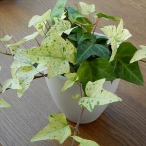 ヘデラ 白雪姫 白い葉っぱが魅力的なヘデラ白雪姫...の商品画像