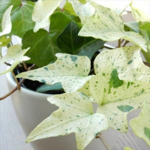 ヘデラ 白雪姫 白い葉っぱが魅力的なヘデラ白雪...の詳細画像2