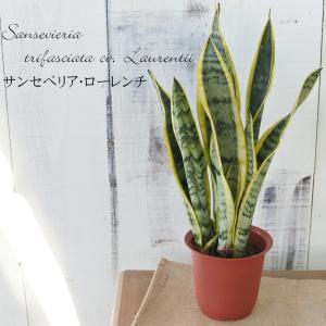 マイナスイオンで空気清浄 サンスベリア・ローレンチ4号鉢 観葉植物|flower-net