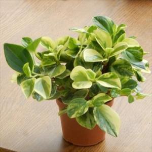 ペペロミア グラベラ 観葉植物 ミニ観葉 3号プラ鉢