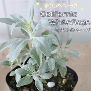 カリフォルニア ホワイトセージ 苗 ハーブ・スマッジング・宿根草 10.5cmポット|flower-net