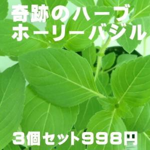 奇跡のハーブ ホーリーバジル トゥルシー苗 3個セット 空気浄化 マイナスイオン 新陳代謝 虫よけ|flower-net