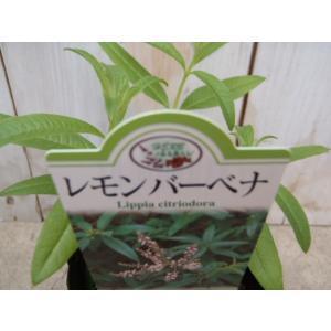 人気のハーブ レモンバーベナ 料理 ハーブティー 香り|flower-net