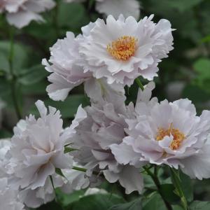 ■商品説明 切れ込みの深い花弁とシックなライラック色があいまって、個性的な品種。半八重咲きで黄色のし...