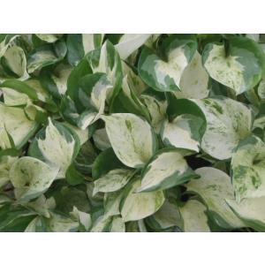 ポトス ステータス 観葉植物 9cm|flower-net