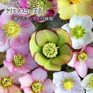 クリスマスローズ苗 選べるシングル19種類 杉光園芸 杉山交配 9cmポット|flower-net