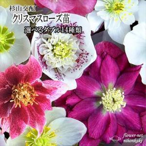 クリスマスローズ苗 選べるダブル14種類 杉光園芸 杉山交配 9cmポット|flower-net