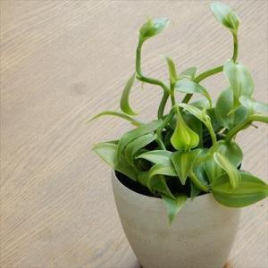 魅惑の甘い誘い バニラ(バニラビーンズ 果樹 つる性 観葉植物 9cmポット)|flower-net