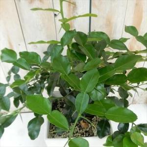 こぶみかん コブミカン タイ料理 香味料 観葉植物 7号 ハーブ|flower-net