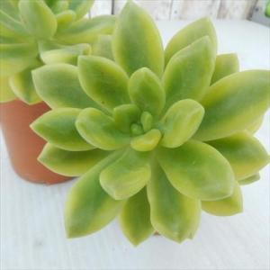 多肉植物 hmセダム シャンパンライム 春萌錦 多肉植物 セダム 6cmポット