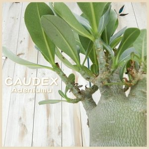 caコーデックス アデニウム オベスム 多肉植物 アデニューム 塊根植物 観葉植物 砂漠の薔薇 3.5号