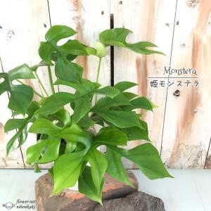 姫モンステラ ヒメモンステラ 不思議な葉っぱ姫モンステラ 観葉植物 4号鉢