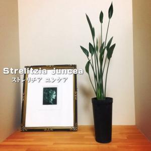 ストレチア ユンケア(極楽鳥花 観葉植物 インドアグリーン 3.5号 希少種)|flower-net