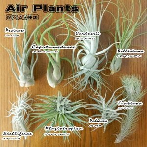 選べるエアープランツ チランジア Part1 エアープランツ エアプランツ 観葉植物