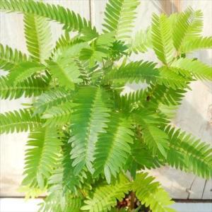 ネムノキ エバーフレッシュ 3号鉢 観葉植物|flower-net