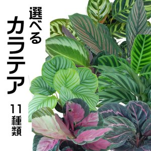選べる カラテア 観葉植物 4号鉢|flower-net