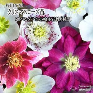 クリスマスローズ苗 選べるダブル小輪多花性6種類 杉光園芸 杉山交配 9cmポット|flower-net
