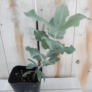 ユーカリ マクロカルパ 観葉植物 ハーブ マクロカーパ 10.5cmポット|flower-net