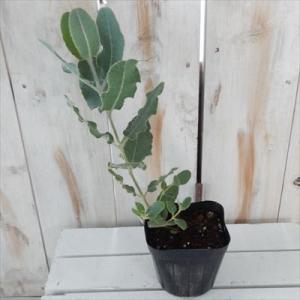 ユーカリ プレウロカルパ 観葉植物 ハーブ 10.5cmポット|flower-net