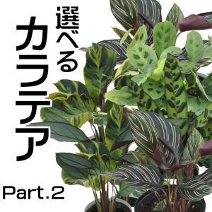 選べる カラテア Part 2 観葉植物 4号鉢|flower-net