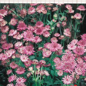予約販売11月上旬以降発送 宿根草の咲く庭 アストランティア ローマ 大苗12cmポット|flower-net