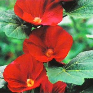 ■商品説明 和名は「タチアオイ」で「ホリホック」とも呼ばれる。 暑さ寒さ、乾燥にも強く育てやすい品種...