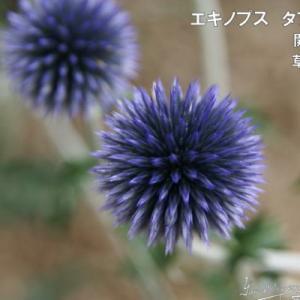 予約販売11月上旬以降発送 宿根草の咲く庭 エキノプス タプローブルー 大苗12cmポット ルリタマアザミ|flower-net