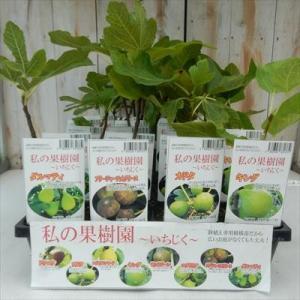 〜選べるいちじく〜(イチジク 鉢植え専用柑橘苗 9cm ポット)