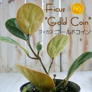 フィカス ゴールドコイン 4号鉢 ゴムの木 観葉植物|flower-net