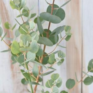 ハートリーフユーカリ ウェブステリアナ 9cmポット 観葉植物 ハーブ|flower-net
