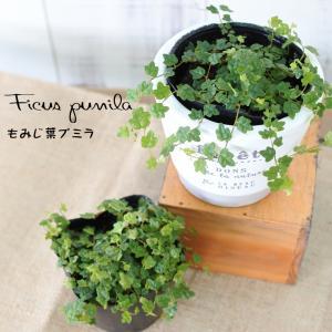 もみじ葉プミラ 苗  天使のいたずら 9cmポット 観葉植物 ガーデニング|flower-net